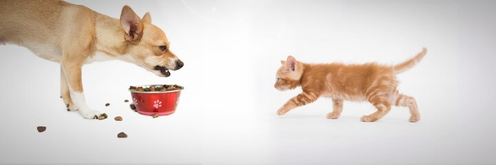 Grumpy dog eating and kitten