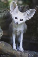 Portrait of a fennec fox