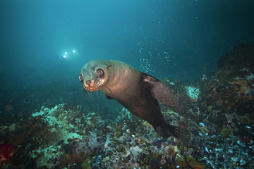 brown fur seal, arctocephalus pusillus, South Africa