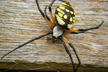 Garden Spider on Wood