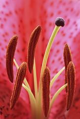 Oriental lily interior, closeup