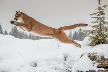 Printed kitchen splashbacks Puma Mountain Lion