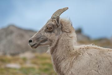 Bighorn Sheep at Mount Evans