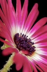 Fig Marigold blossom