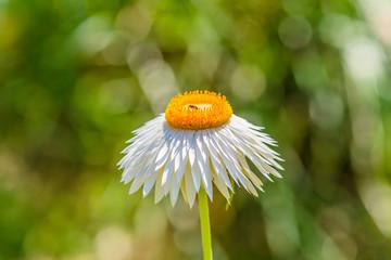 White Paper Daisy Flower