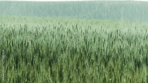 A crop of wheat on a farm gets water from rain or an irrigation system. UHD 25p.