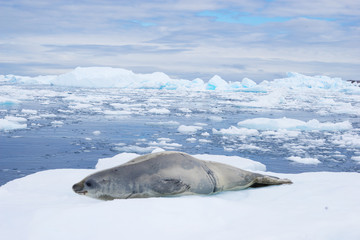 icy beach with animal in antarctic