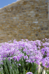 Tall purple flowers growing at the side of a stone Mediterranean house