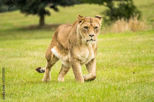 Lioness Hunters