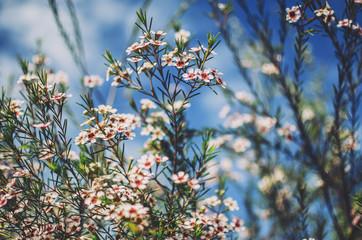 Wild Australian wax flowers