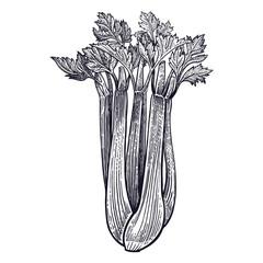 Celery vintage engraving.