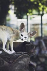 Beautiful fennec fox