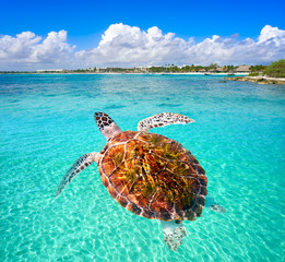 Akumal beach turtle photomount Riviera Maya
