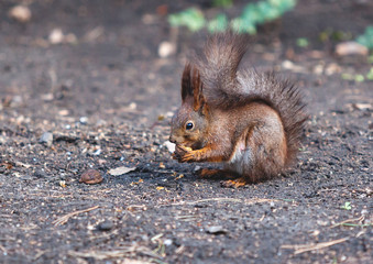 Red squirrel sits on ground and gnaws walnuts