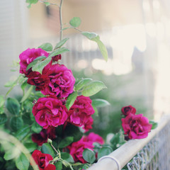 Roses growing against a fence