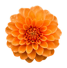 Orange yellow Dahlia flower with water drops on petals after rain, top view. Isolated on white background.