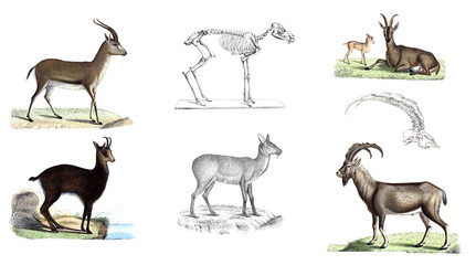 Wild goats, illustration.