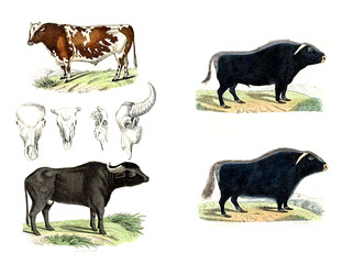 The cow and the bull. Color illustrations.