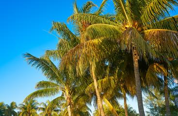 Caribbean coconut palm trees Holbox island