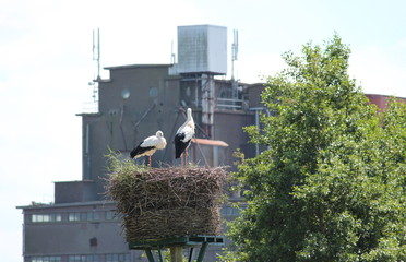 Two storks on a nest in NIeuwerkerk aan den IJssel