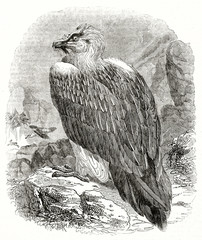 Old grayscale  illustration of the Bearded Vulture (Gypaetus barbatus). By unidentified author, published on the Penny Magazine, London, 1835