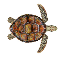 Sea Turtle Isolated