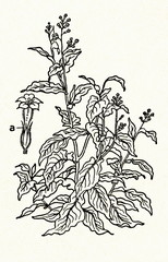 Cultivated tobacco (Nicotiana tabacum)