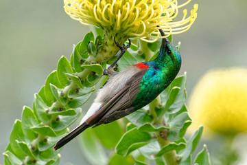 Miombonektarvogel