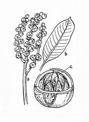 Brazil nut (Bertholletia excelsa)