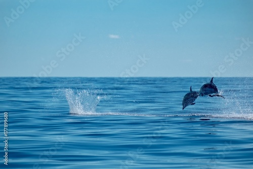 Striped dolphins on a perfect day in the Atlantic Ocean near to the Azores