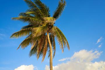 Caribbean coconut palm tree Riviera Maya