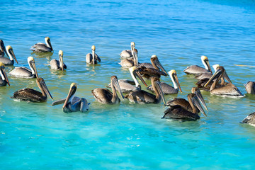 Wall Mural - Pelican birds in Caribbean Mexico