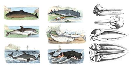 Marine mammals. Color illustrations.