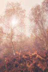 Autumn foggy image for wallpaper or cover, misty birch trees and autumnal fern in the grove
