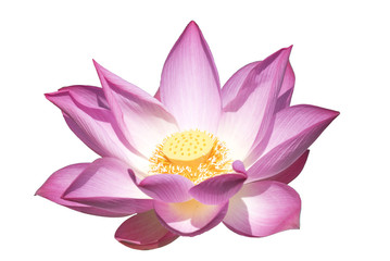Lotus on white background