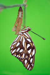 Beautiful butterfly sitting with spotted wings sitting on its empty cocoon