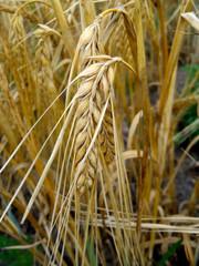 Спелые колосья на фоне пшеничного поля крупным планом.