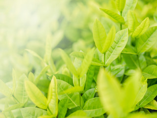 Closeup fresh and green leaves  nature in garden, natural green leaf plants landscape. ecology, wallpaper concept.