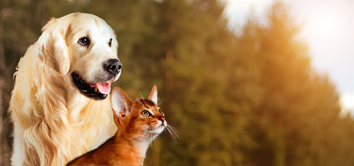 Cat and dog, abyssinian cat, golden retriever together on peaceful autumn nature background
