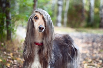 Smart dog  Afghan hound with ideal data stands in the autumn forest and looks into the camera. A...