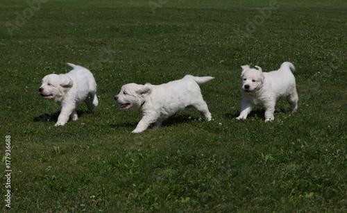 Puppy Golden Retriever Puppies Running Around On The Meadow Stock