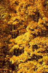 Golden leaves on a tree pattern