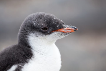 A Gentoo Penguin chick.