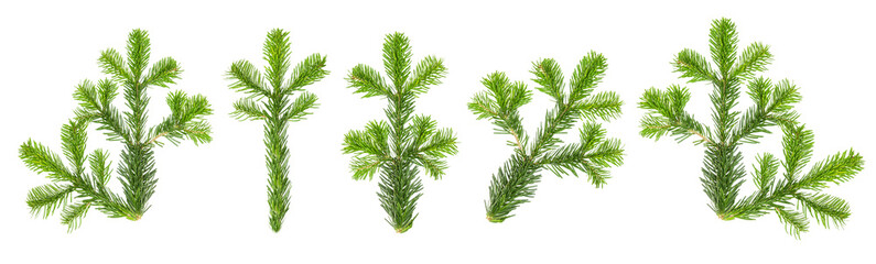 Christmas tree branches Spruce twigs white background