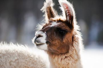 Portrait of  Llama in Winter
