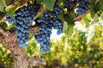 Red wine grapes on vine in summer vineyard, close up.