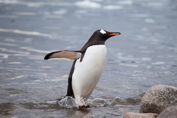 A Gentoo Penguin in the water.
