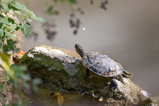The European pond turtle (Emys orbicularis), also called the European pond terrapin, is a long-living freshwater species of turtle.