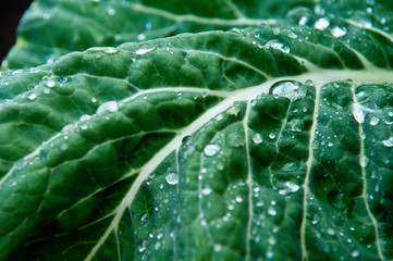 Chard leaf with water drops