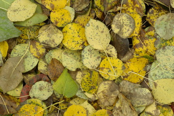 dry fallen leaves pears
